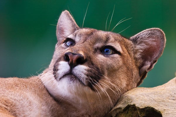 Ranger For A Day At The Big Cat Sanctuary  Weekdays