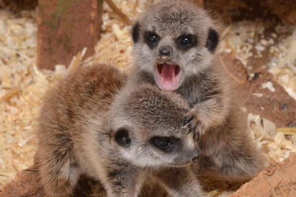 2 For 1 Meet The Meerkats At The Animal Experience