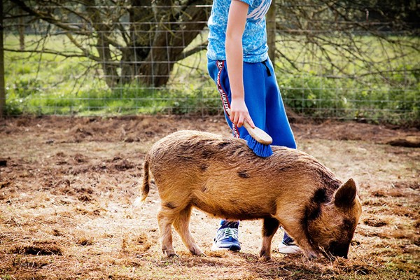 Pig Enthusiast Experience For Two At Kew Little Pigs