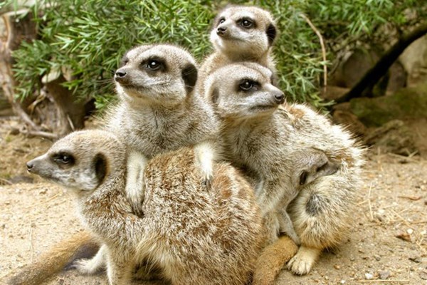 Meerkat Encounter At Drusillas Zoo Park