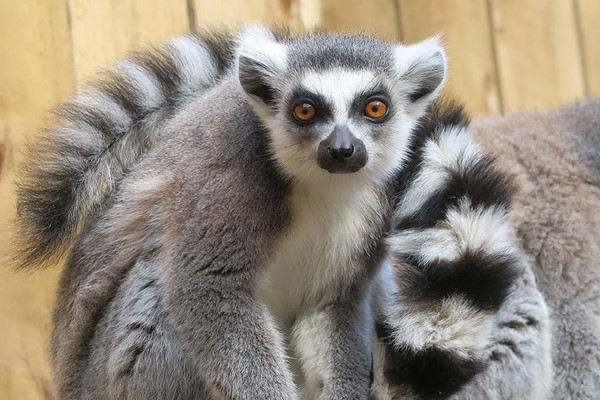 Click to view details and reviews for Meet The Lemurs Experience For Two At Ventura Wildlife Park.
