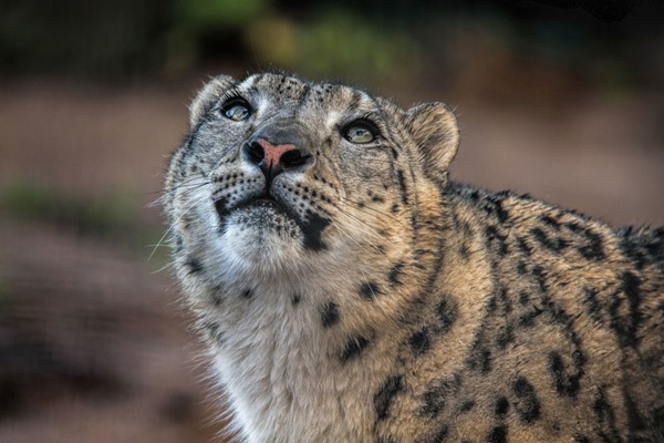Welsh Mountain Zoo Entry And Snow Leopard Experience For Two