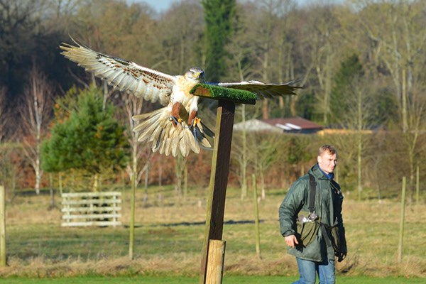 Hawk Walk And Flying Experience For Two At Willows Bird Of Prey Centre