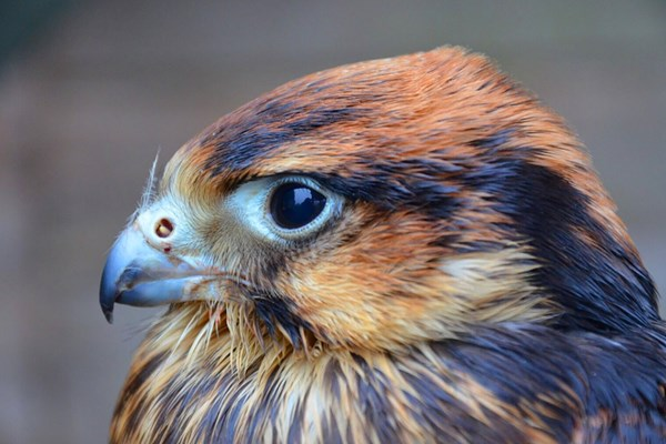 Birds Of Prey Experience With Cream Tea For Two At Willows Bird Of Prey Centre